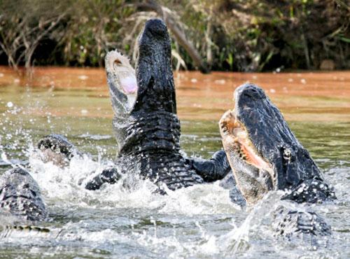 American Alligator Attacks Fatal Alligator Attacks in