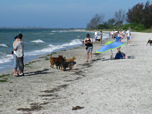 the fort desoto dog beach draws a crowd on weekends