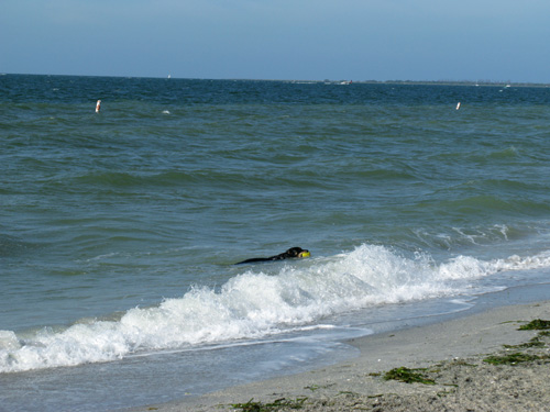 lots of pets like to swim at the fort desoto dog beach