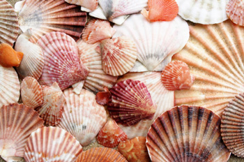 florida beaches  sea shells