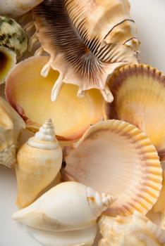 sea shells of the florida beach