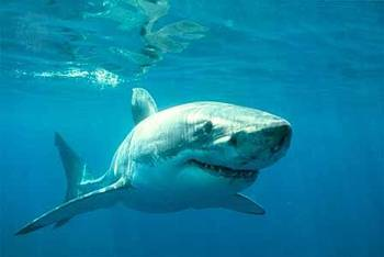 Shark Facts To Reduce S On Florida Beaches